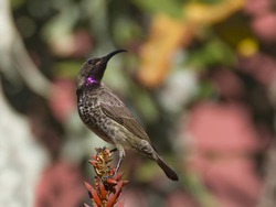 Wonderful image of a juvenile amethyst sunbird against a lovely colorful background