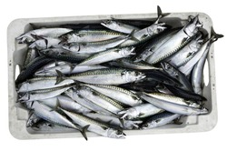 Crate of recently caught Mackerel isolated on white with clipping path