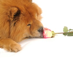 Chow-chow enjoying aroma of the rose, isolated on a white background