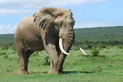 A full body of an African Elephant bull with big ears, trunk and tusks grazing and walking in the bushland of a game park in South Africa