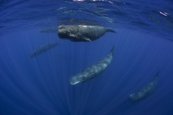 Pod of sperm whales swimming off the coast of Sri Lanka