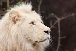 Portrait of a male African white lion
