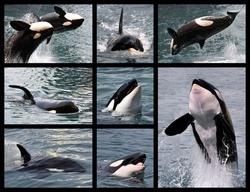Eight photos mosaic of killer whales (Orcinus orca)