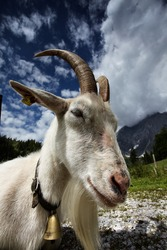 Adult horned white goat at an Alpine Chalet in Austria