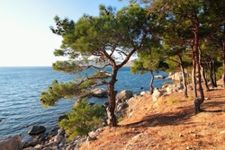 Pine trees above the sea