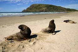 Sea lions basking and resting on a sandy beach. Canibal bay. Catlins. South Island. New Zealand