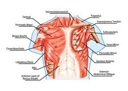 similar images, stock photos \u0026 vectors of pectoralis major muscle