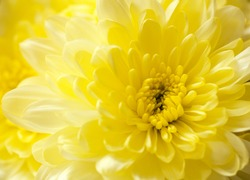 Macro close up shot of yellow chrysanthemum