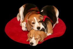 A pair of beagles rest on a red carpet