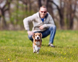 Running beagle puppy with his master on the walk