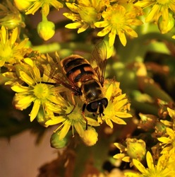 Large worker bee collecting the exquisite pollen on  small yellow flowers of aeonium undulatum in full spring, natural wildflowers of canary islands
