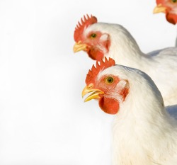 Adult chickens on a white background. Taken on a farm in central Illinois