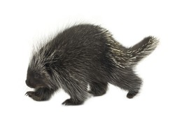 Porcupine walking on a white background