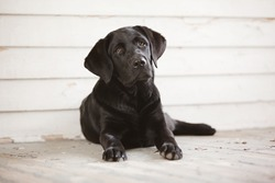 Adorable black lab puppy sitting outside on the porch.