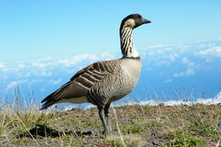 Endangered Hawaiian Goose: Nene on the slopes of Haleakala National Park (Wild bird, not zoo shot)