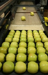Golden Delicious Apples being packed in a warehouse