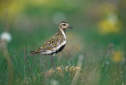 Golden plover (Pluvialis apricaria) in grass
