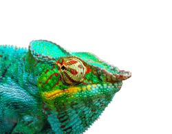Chameleon over white background