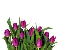 A bouquet of violet tulips on a white background