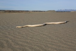 White snake crawling on the desert sand with horizon visible