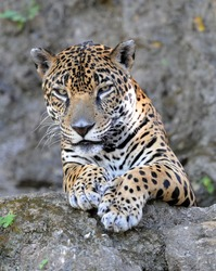 jaguar or panthera onca, wildlife reserve, Guatemala , latin america, exotic big cat predator carnivore like leopard in tropical jungle rainforest