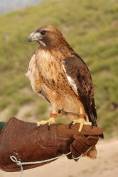 A Red Tail Hawk perched on his handler's glove