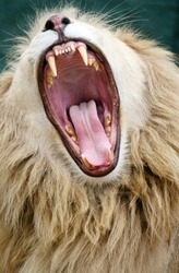 white lion with mouth open