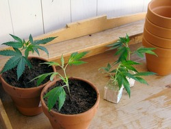 fresh Marijuana plants/the process of homegrowing weed