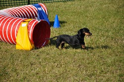 Black Miniature Dachshund Leaving Red Agility Tunnel, copy space