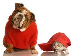dog and cat playing - english bulldog in red sweater and kitten playing under baseball cap