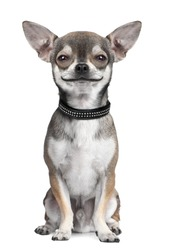 dog ( chihuahua ) looking at the camera, smiling, in front of a white background (Digital enhancement)