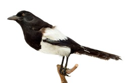 Bird magpie pica pica on a white background