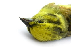 closeup of dead yellow bird on white background