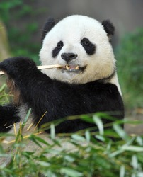 giant panda bear or Ailuropoda melanoleuca male eating bamboo, found in sichuan province, central china, asia. exotic black and white endangered bear