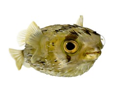 Long-spine porcupinefish also know as spiny balloonfish (fish) - Diodon holocanthus in front of a white background