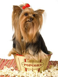 Pretty Yorkie sitting in popcorn bowl with popped corn, on white background