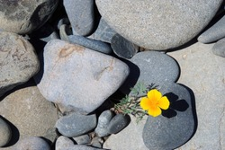 Yellow flower (Eschsholtzia californica) in the middle of cold grey stones New Zealand.