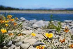 Yellow flowers (Eschsholtzia californica) in a riverbed in New Zealand.