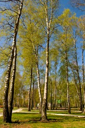 Circle of spring birches crowns against blue sky