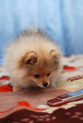 Pomeranian spitz puppy look on mobile phone