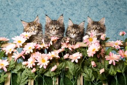 4 Pretty Maine Coon kittens behind trellis with pink daisies flowers