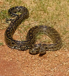 Rock python, keeping warm in the sun, Pythonidae family, wildlife series