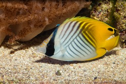 Auriga or Threadfin Butterflyfish