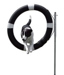 Agility Dog through Hoop isolated with clipping path