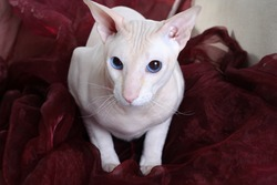 Peterbald hairless cat on the sofa