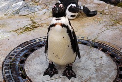 Curious penguin watching the camera