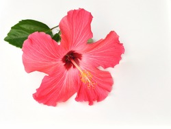 Coral Hibiscus Flower For Background
