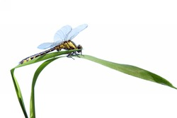 dragonfly close up and green  plant isolated on white