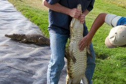 Two men holding a Nile Crocodile checking the skin