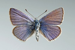 Common Blue butterfly. Polyomathus icarus, male